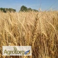 Семена озимиой пшеницы Миссия Одесская