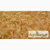 Купим оптом пшеницу 2-6 класса