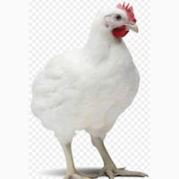 Продам бройлер живою вагою курчата табака