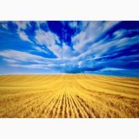 Компания закупает пшеницу