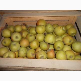 Продаем яблоко оптом. Открыли холодильник. В наличии 700 тонн