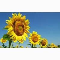 Продам соняшник Сонячний настрій насіння