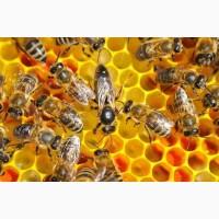 Продаю сім#039;ї бджіл
