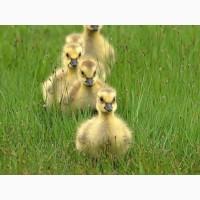 Купити інкубаційні яйця качок Мулард