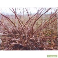 Подвой винограда оптом 1.50 - 3 гривны