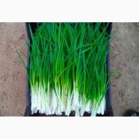 Лук зеленый ОПТ