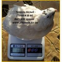Яйца инкубационные для маточного стада перепелов