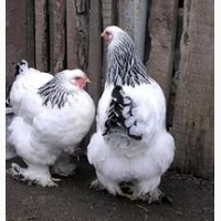Продам инкубационное яйцо: Джерсийский гигант и Орпингтоны =20гривен 1 шт. г. Днепр
