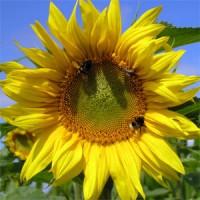 Семена подсолнечника Параизо 102 КЛ, 116-120 дней