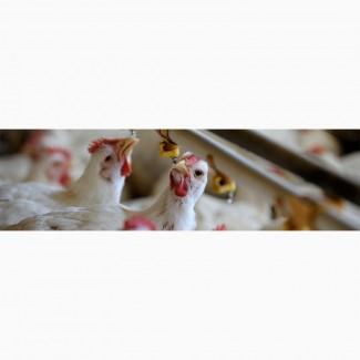 Продам бройлера, молодняк бройлера, суточных гусят и инкубационные яйца