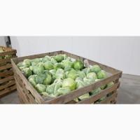 Капуста «Еластор» опт. Українські овочі