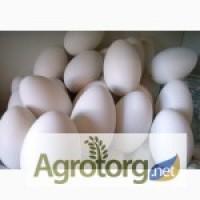Продам мелким оптом гусиное инкубационное яйцо породы Крупная серая