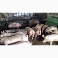 Продаю відбірні свині живою вагою