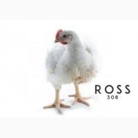 Подрощенные цыплята бройлера РОСС 308 из польского яйца