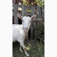 Продам дойную козу зааненской породы