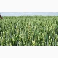 Високоврожайне насіння озимої пшениці австрійської селекції
