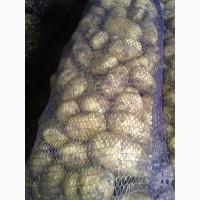Продам картофель продовольственный.Оптом. Оркестра, Мадлен, Лабелла, Белла Роса, Крона