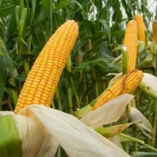 Семена кукурузы Оржица ФАО 240
