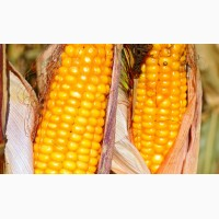 Семена кукурузы ВНИС Гран 310