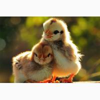 Добові курчата