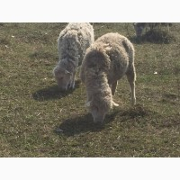 Овцематки, ярки, овцы, овечки котные с ягнятами