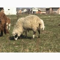 Овцематки, ярки, овцы, овечки