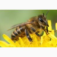 Бджолосім#039;ї та бджолопакети української степової породи