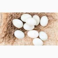 Реалізуємо інкубаційні яйця птиці