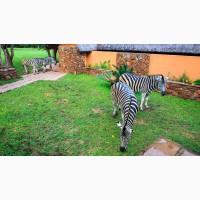 Чоловічі та жіночі молоді зебри на продаж