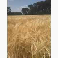 Яровая пшеница Струна Мироновская, Симкода - элита, 1реп