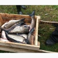 Продам рыбу, мелкий и крупный опт: толстолоб пестрый/ карп/ карась
