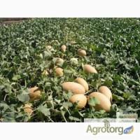 Продам семена Дыни оптом на вес по низким ценам ( на объеме договорная)