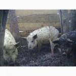 Поросят венгерская монгалица подрощенных, свиинки мангалиця, поросят мангал