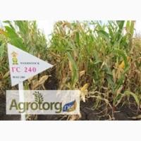 Семена кукурузы венгерской Вудсток Гибрид Шаролта - ФАО 290