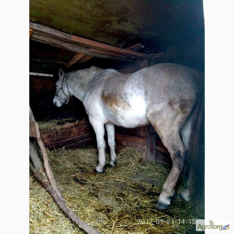 фото білого коня