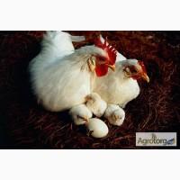 Подрощеные цыплята Геркулес