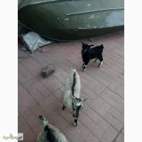 Продам 6 козликов породы полтавка Броварской р-н