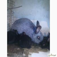 Кролики полтавское серебро две линии