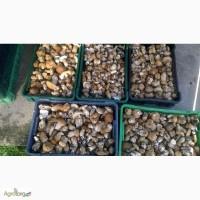 Білі гриби, свіжі білі гриби 130 грн за кг