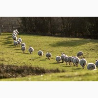 Продам стадо овець