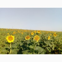 Семена подсолнечника Бонд (под Гранстар, Экспресс)