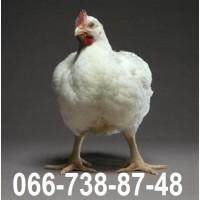 Кобб 500, яйцо Кобб 50, продам инкубационные яйца Кобб 500