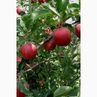 Яблоко Гала Маст оптом с сада