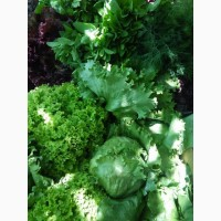 Продам салат, свежую зелень