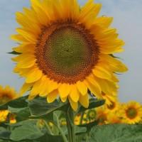 Семена подсолнечника Барон, 110 дней