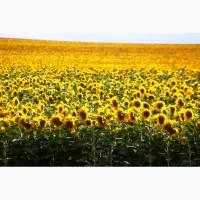 Зернозакупка: закупаем рапс
