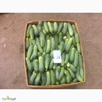 Продам экологически чистый огурец сорт Мозаик (Сарацин)