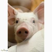 Предлагаем племенных ремонтных свинок и хряков датской селекции