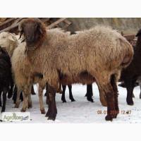 Продам курдючного барана гиссарской породы