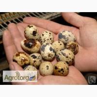 Яйцо инкубационное перепелиное породы Техасский белый. 1.5грн/шт
